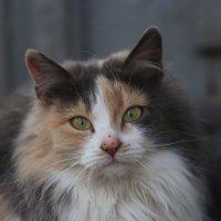 Тещина кошка :: Олег Гудков