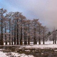 Болотные кипарисы в снегу :: Алексей Яковлев