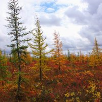 Осенняя лесо - тундра :: Александр Велигура