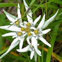 цветы севера :: Galina