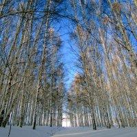 Зимой в березовой роще :: Константин Филякин