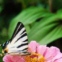 Бабочка на цветке :: Наталья Майорова
