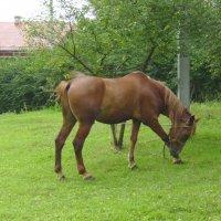 Пасущийся  конь  в  Крылосе  1 :: Андрей  Васильевич Коляскин