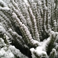 Розмарин в снежном убранстве. :: Жанна Викторовна