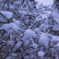 Снежок :: Aнна Зарубина