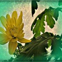 хризантема на морозном окне :: Надежда