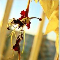 Увядание цветка Клеродендрум или Мадам Томсон :: Лидия (naum.lidiya)