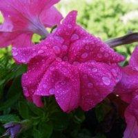 Дождинок капли освежают.... :: Самохвалова Зинаида