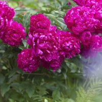 Пионы - мои любимые цветы... :: Марина Щуцких