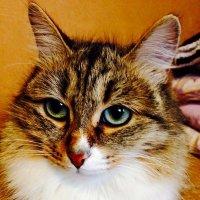 Знакомая кошка :: Сергей Ситников