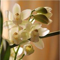 орхидея Цимбидиум. :: Наталья Vorobjeva