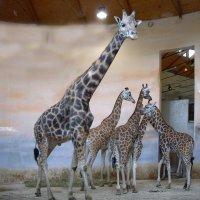 Жирафы. :: Oleg4618 Шутченко