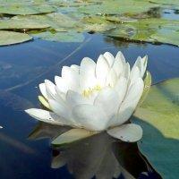 Речная лилия. :: Чария Зоя