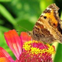 Бабочка-крапивница :: Татьяна Колесникова
