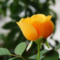 Скоро вырастет красивая Роза :: Damir Si