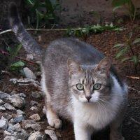 Кошка :: Владимир К.