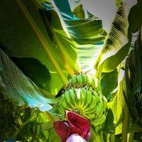 Банановая пальма :: Дмитрий Перов