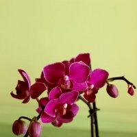 Орхидея :: Леонид