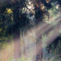 Утро в еловом лесу :: Юрий Цыплятников