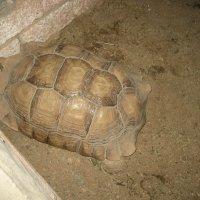 большая черепаха :: Михаил Филатов