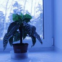 Цветок на окне. :: Олег Афанасьевич Сергеев