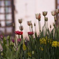 Тюльпаны :: Люба Мельник