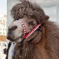 Верблюд :: Нина Агаева