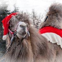 Новогодний верблюд :: Нина Агаева