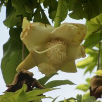 Цветок баобаба :: Герович Лилия
