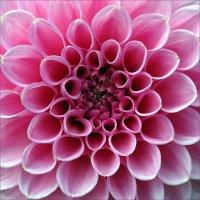 Красота розовых лепестков :: Николай Белавин