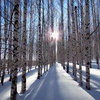 Солнце в лесополосе :: Константин Филякин