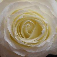 Белая роза :: Наталья Ремизова