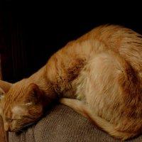 Рыжик дремлет на полочке . :: bemam *