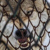 волк :: lev