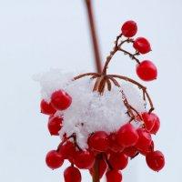 Зимние ягоды :: Ekat Grigoryeva