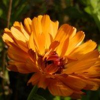 Солнечная календула. :: Королева Надежда