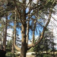 Удивительное дерево!!! :: Герович Лилия