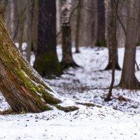 Зимний лес :: Ольга Рощектаева