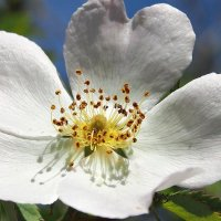 Белый шиповник :: Swetlana V