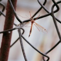комар :: Кристина Рубанова