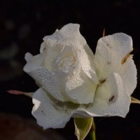 роза :: steklotekstolit Пронин