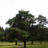 Сосны в парке :: laana laadas