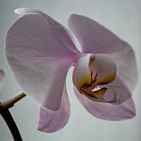 Орхидея фаленопсис Горная Красавица :: Ирина Приходько