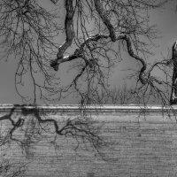 Из жизни деревьев.Геракл :: Юрий Каркавцев
