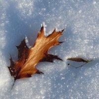 Кленовый лист в январе :: Андрей Куприянов