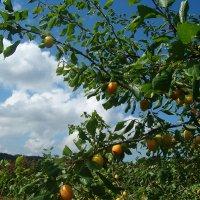 Урожай :: Grey Bishop