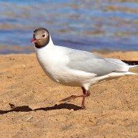 пляжница :: linnud