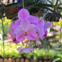 Фиолетовая орхидея :: Vladimir 070549