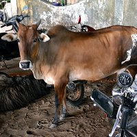 Индия. Калангут. Священная корова - вечерний портрет :: Владимир Шибинский