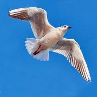 Чайка над морем :: Александр Хайленко